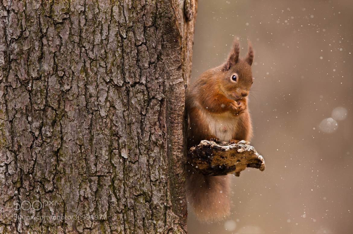 Photograph Red Squirrel! by Sue Demetriou on 500px