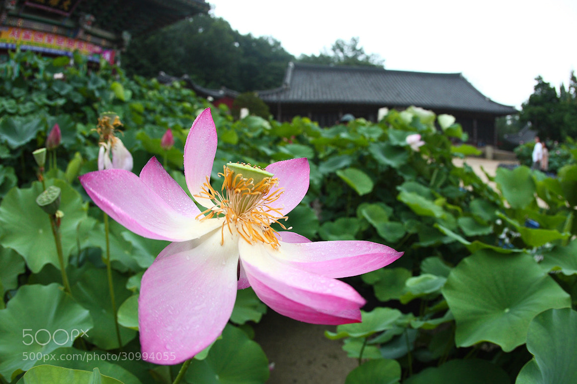 Photograph Lotus in temple by LEE INHWAN on 500px