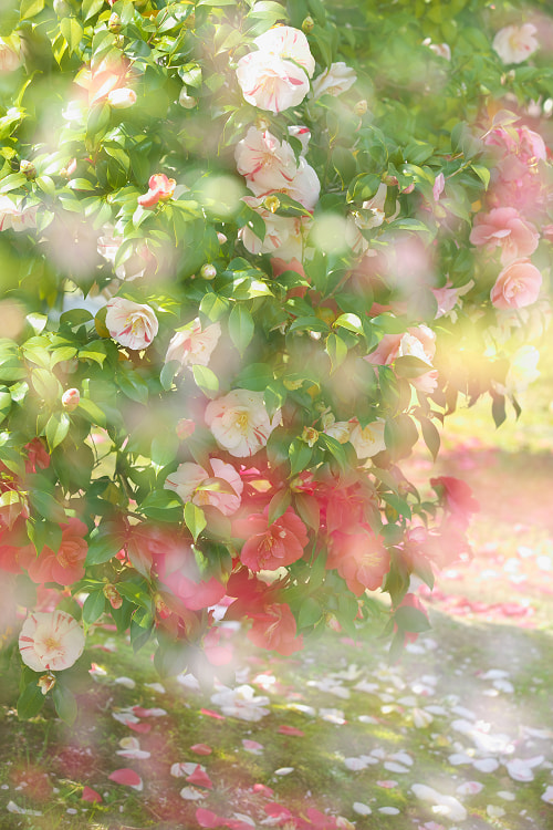 Photograph Flower fall by AI  OGISO on 500px