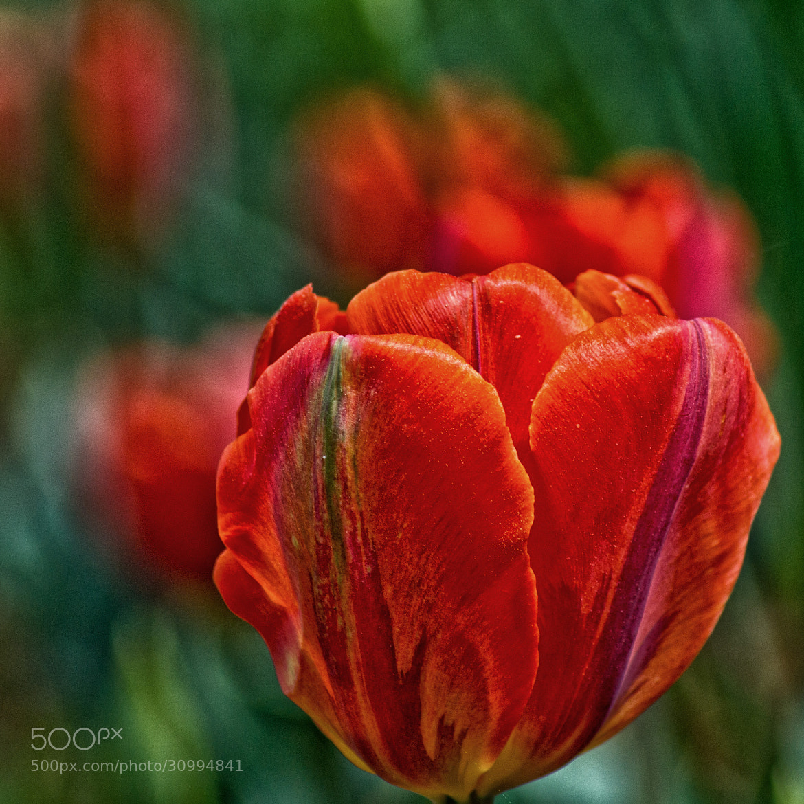 Photograph Red Tulip by James Gramm on 500px