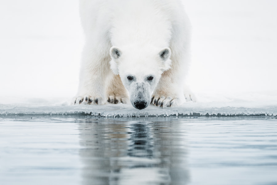 A Polar Bear on the Ice. by Benjamin Hardman on 500px.com