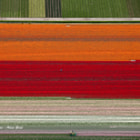 Постер, плакат: Tulips in a field from the air
