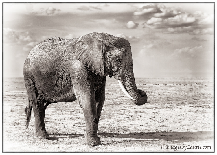 African Elephant (Amboseli National Park, Kenya)
