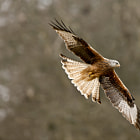 Постер, плакат: Red Kite in flight