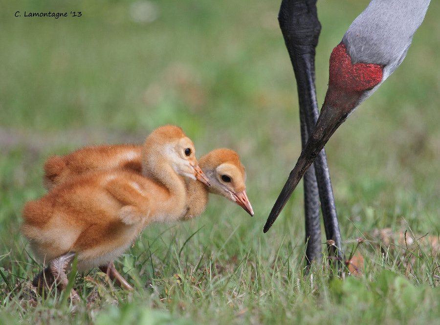 A Sandhill Crane parent feeding it's babies. St. Cloud, Florida.