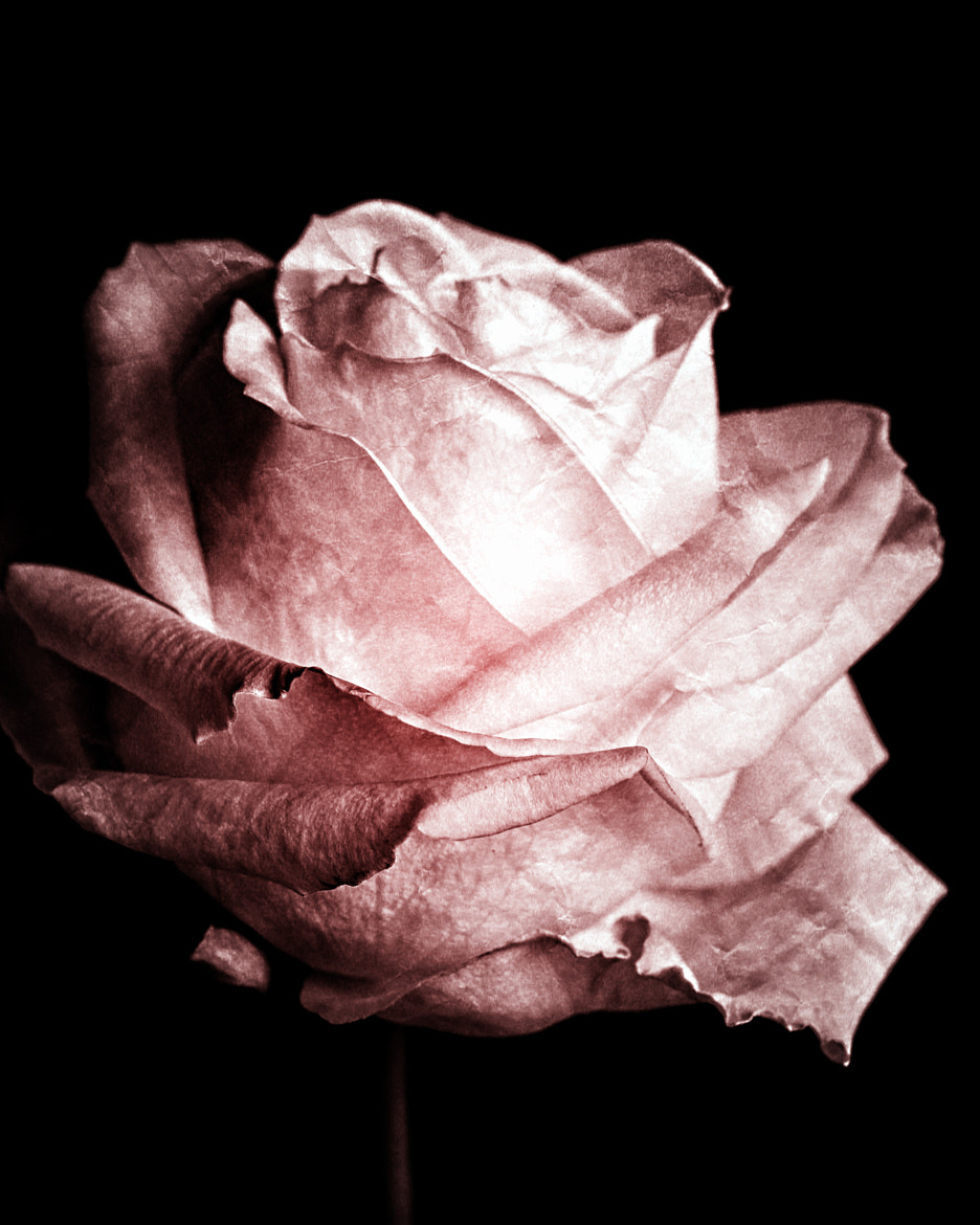 Photograph Vintage Rose by Anne Costello on 500px