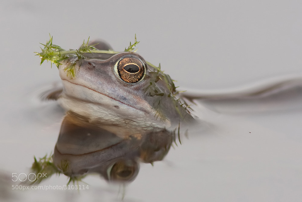 Photograph Moor frog by Tom  Kruissink on 500px