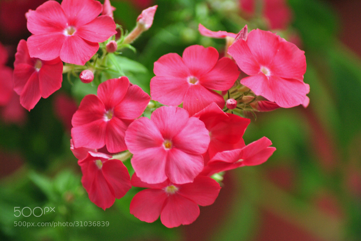 Photograph 21st Century Phlox  by Ruth Spicer on 500px