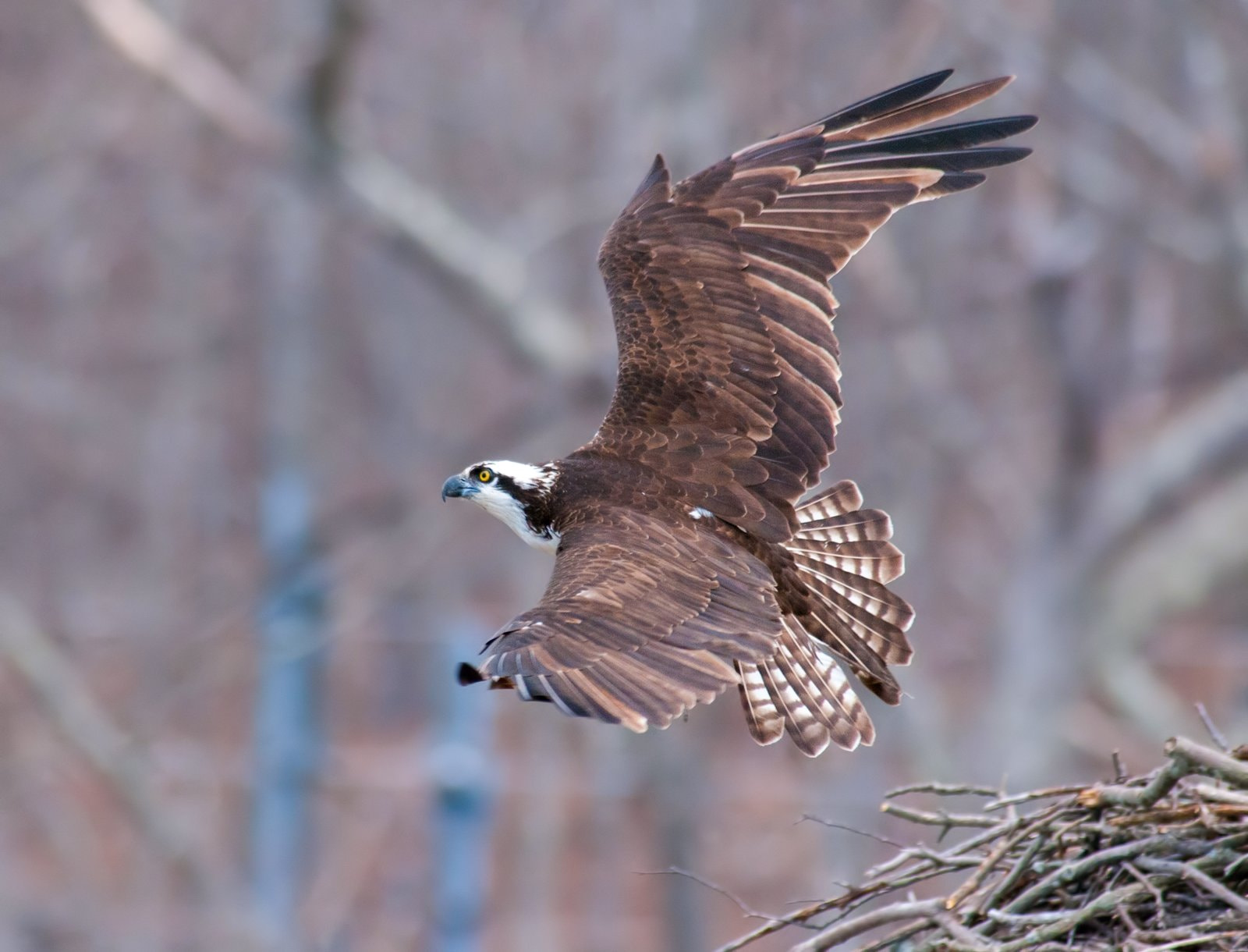 Photograph Osprey leaving the nest by Kristofer Rowe on 500px