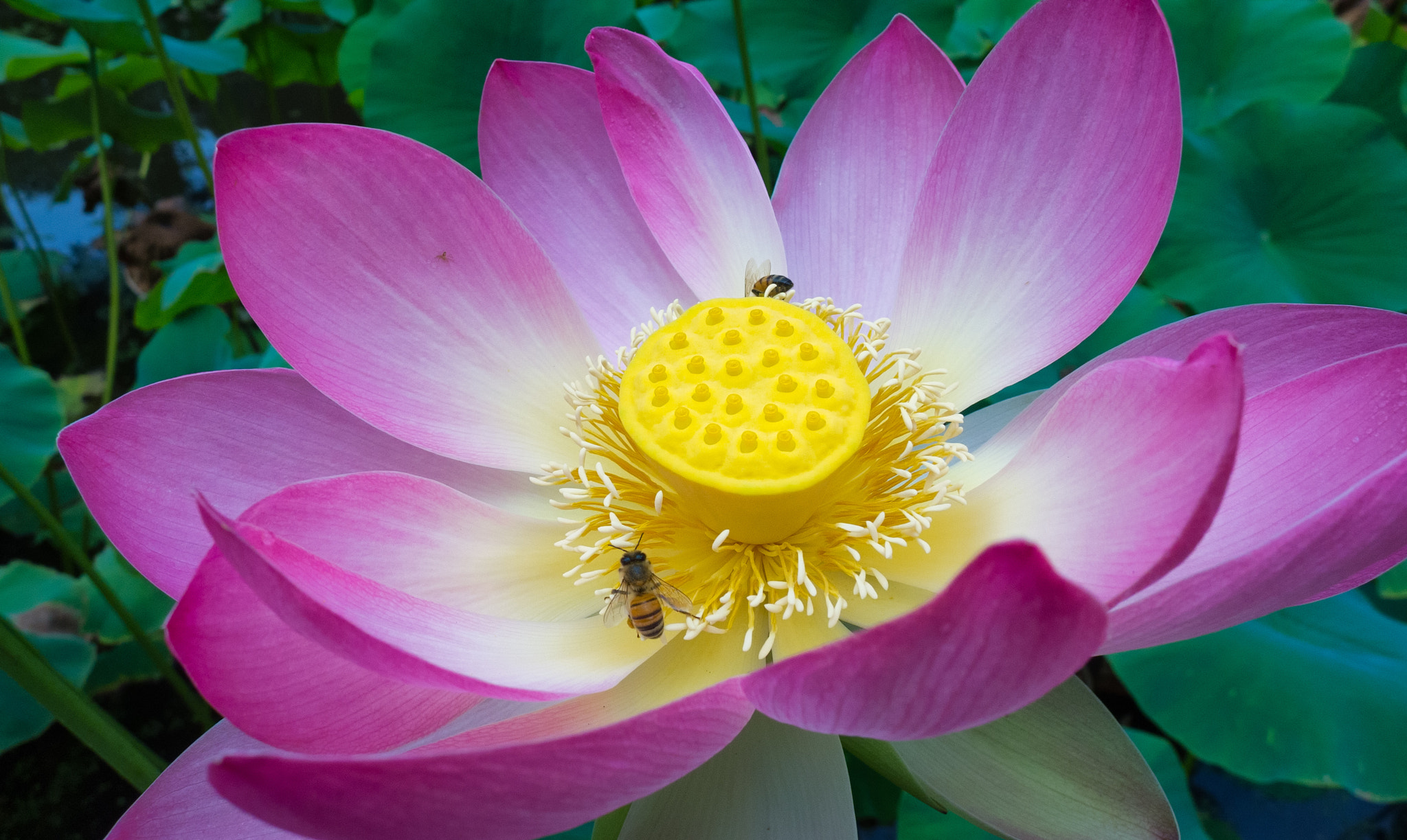 Photograph Lotus by Keith Skelton on 500px