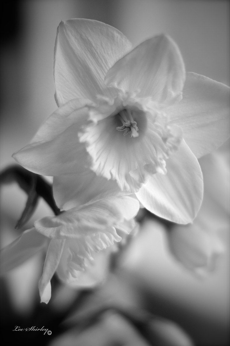Photograph daffodil #5 by Lee Shirley on 500px