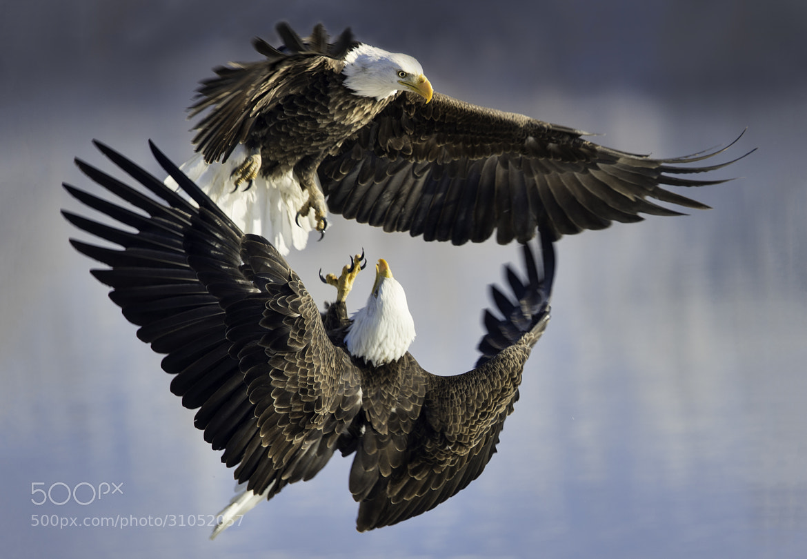 Photograph Eagle Fight by Michael Ash on 500px