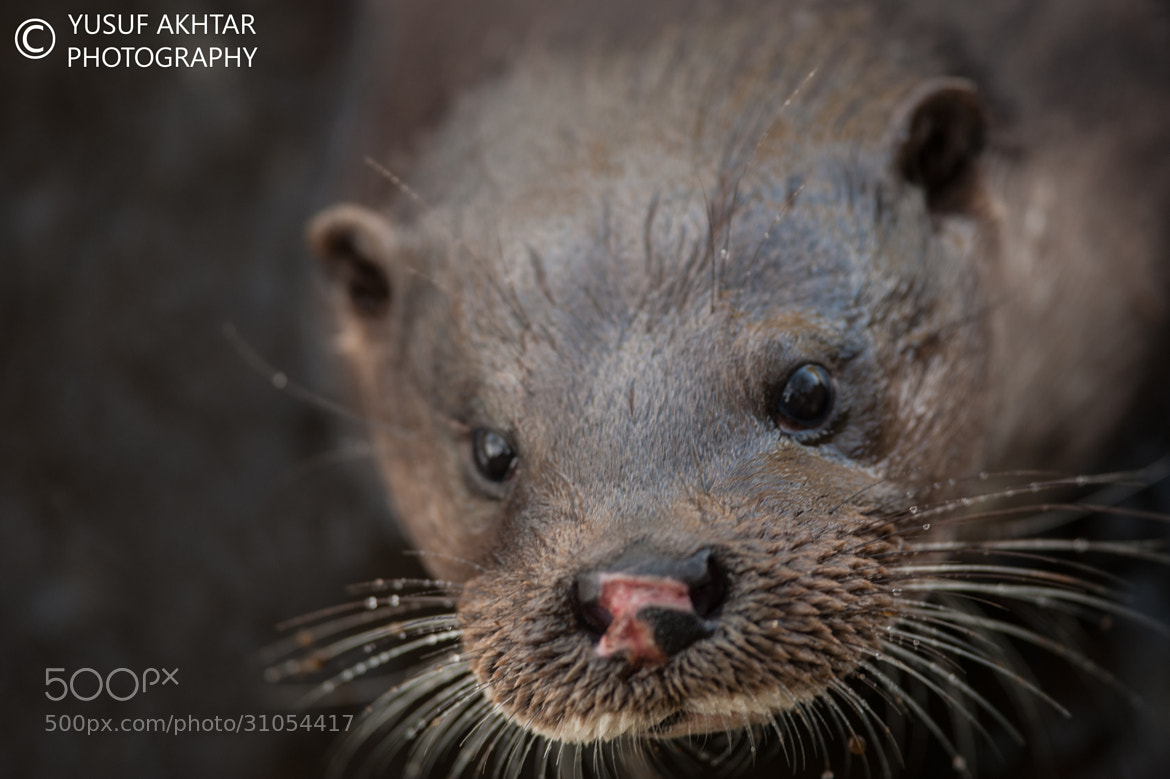 Photograph Otter  by Yusuf Akhtar on 500px