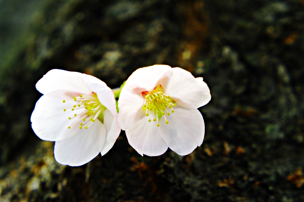 Photograph cherry blossoms  by kim wusung on 500px