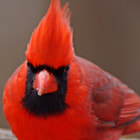 Northern Cardinal~Male