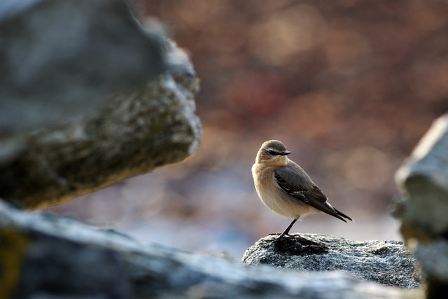 Photograph Northern Wheatear - female by Kolbjørn Pedersen on 500px