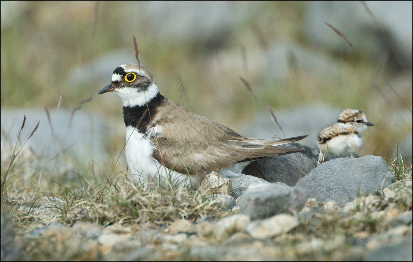 Photograph Little Ringed Plover with young by Gary Howells on 500px