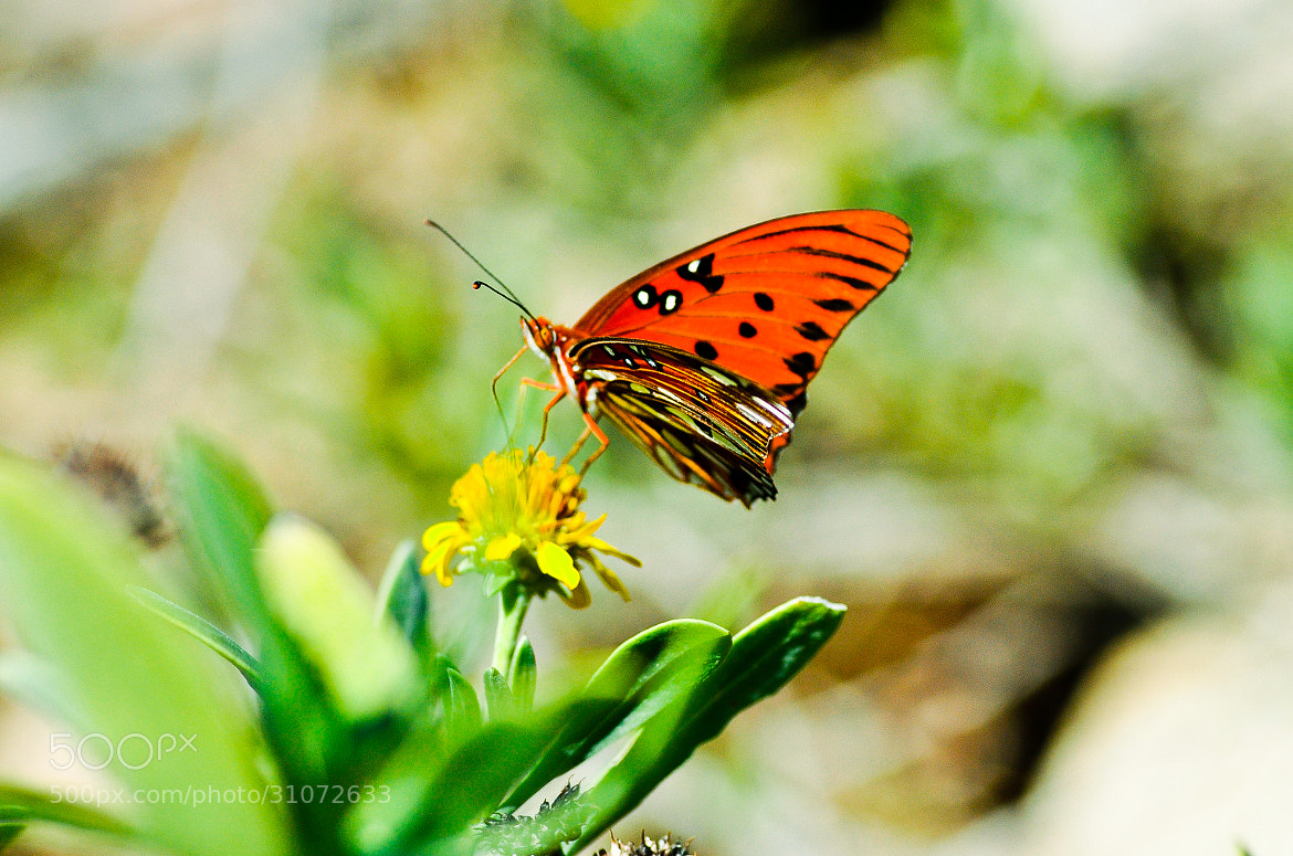 Photograph Viceroy butterfly by Dragan Stanisic on 500px