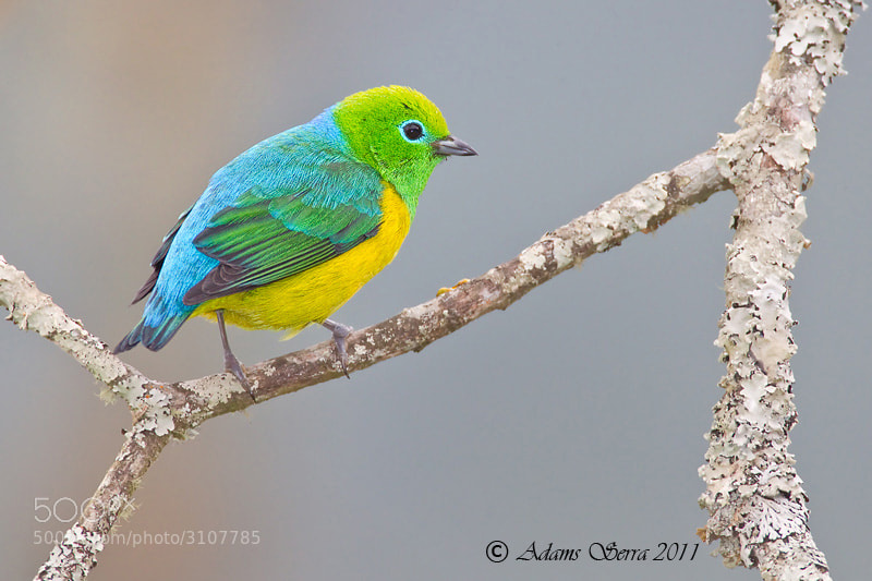 Photograph Blue-naped Chlorophonia by Adams Serra on 500px