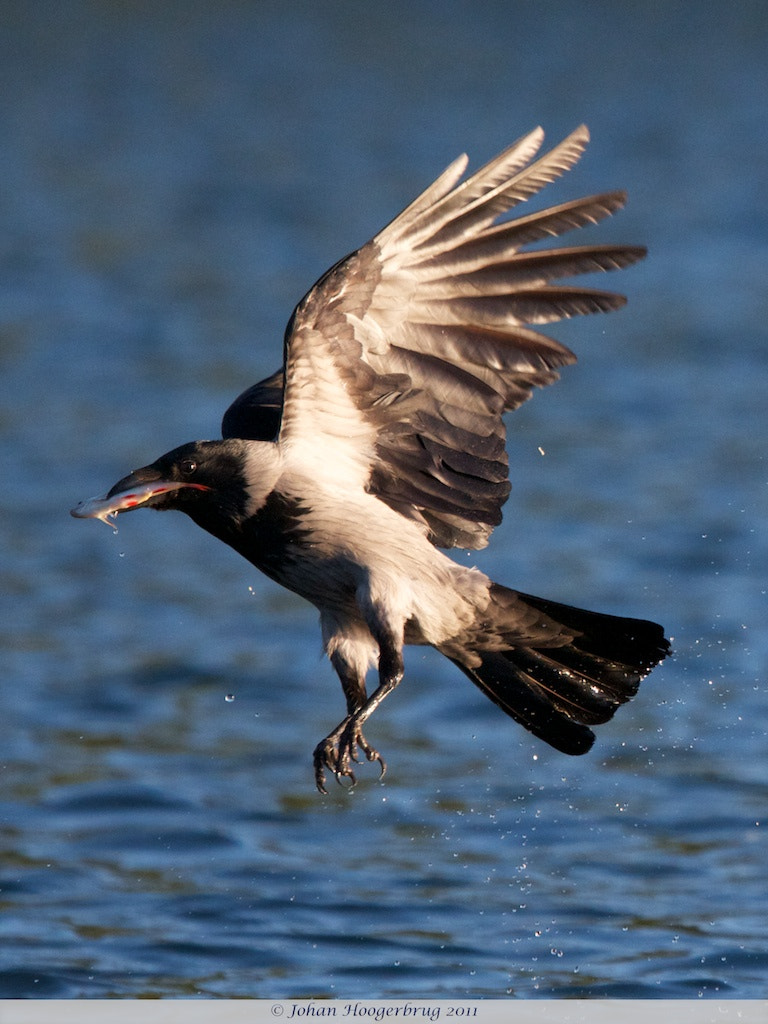 Photograph Hooded Crow catches fish by Johan Hoogerbrug on 500px
