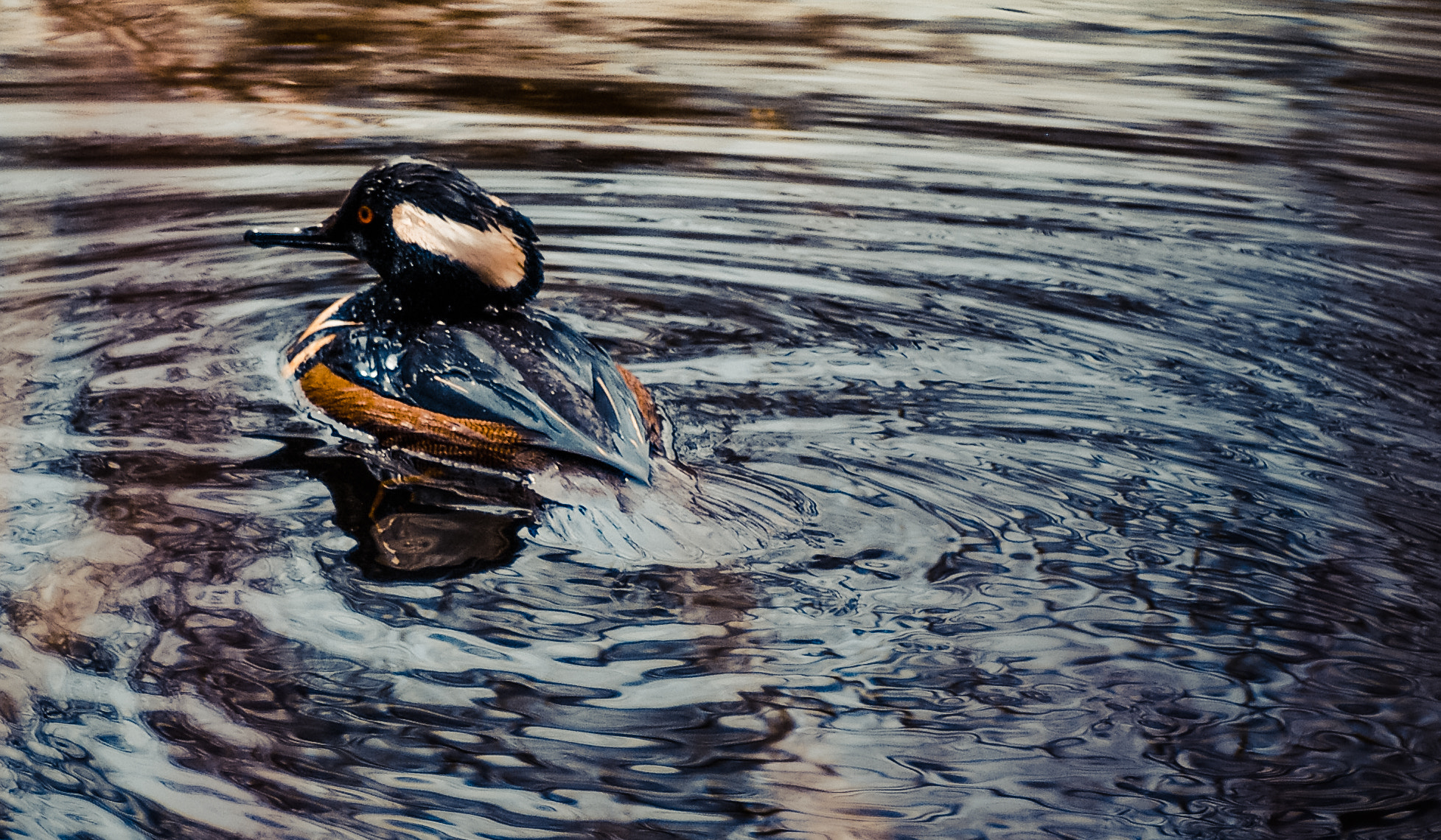Photograph Hooded Merganser by Liberty Montano on 500px