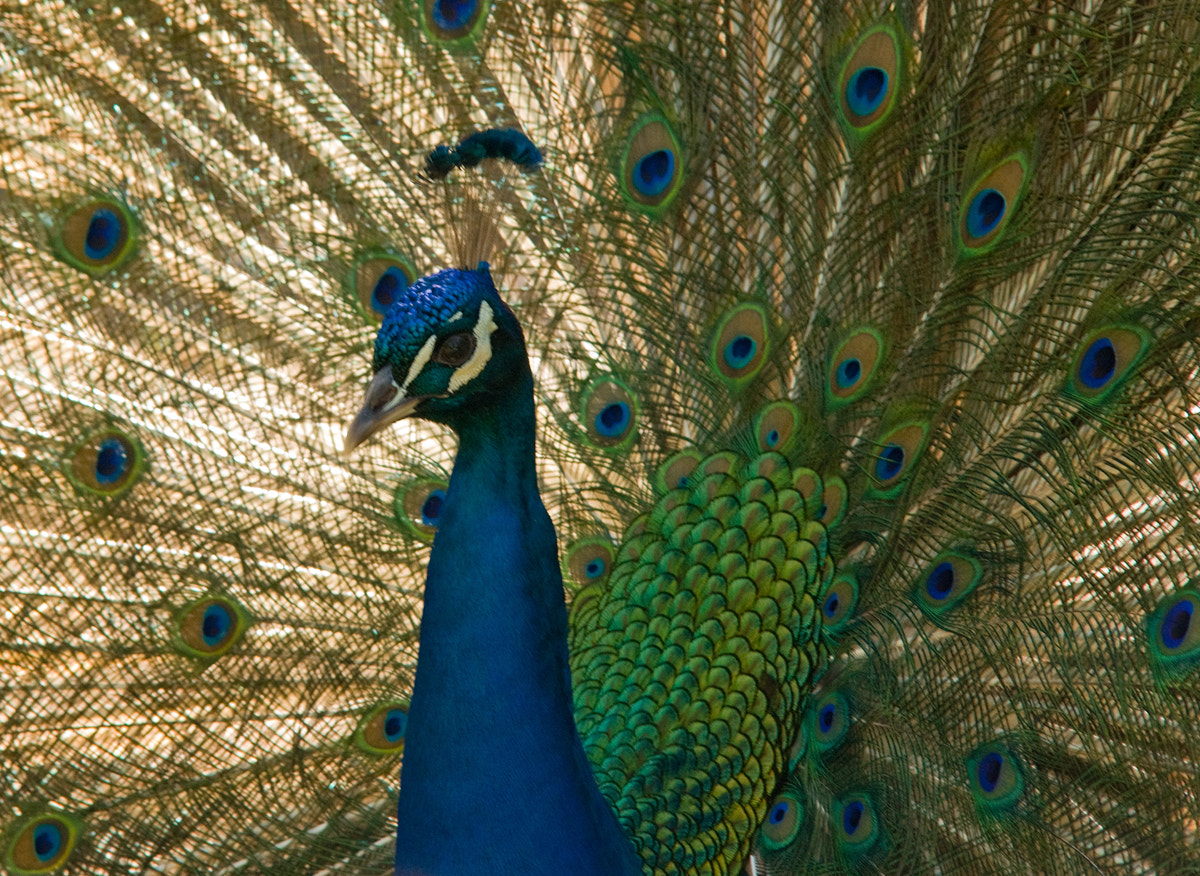 Photograph Peacock by Nick L. on 500px