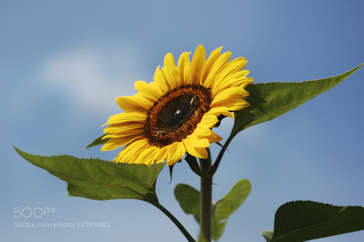 Photograph sunflower by Cristobal Garciaferro Rubio on 500px