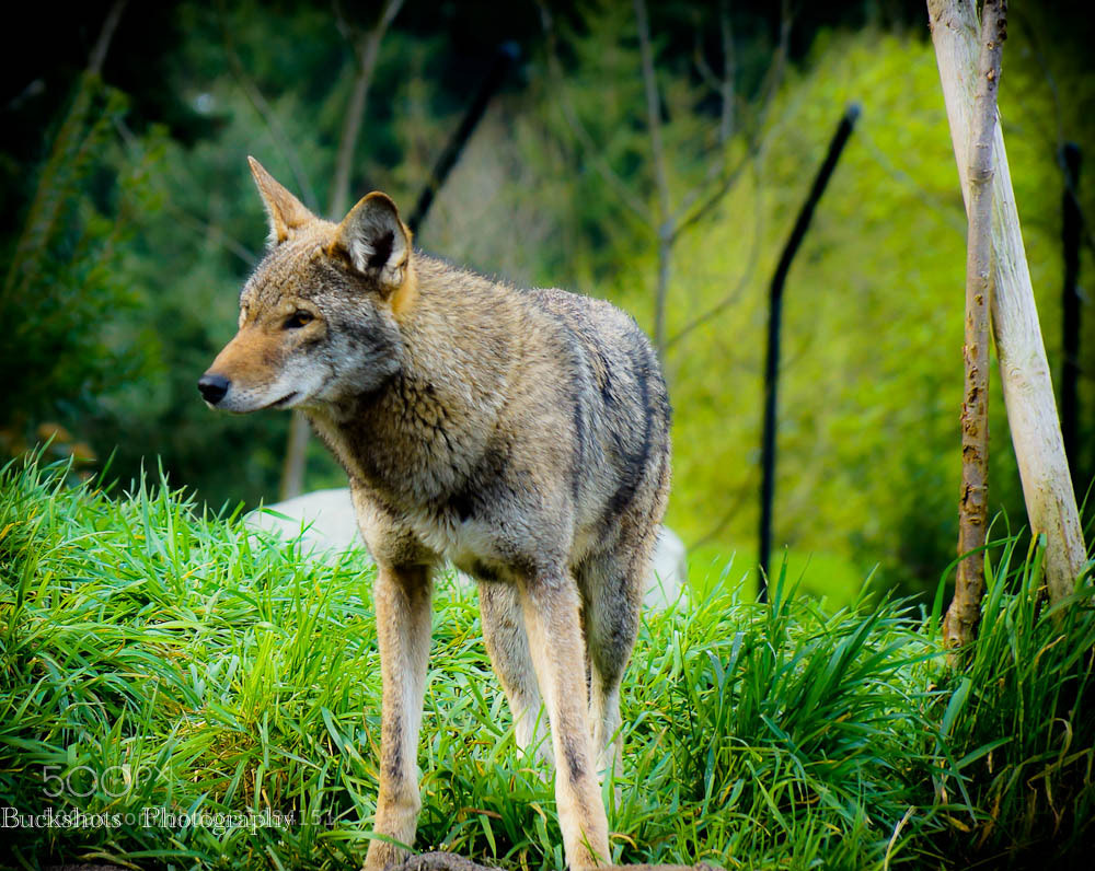 Photograph red wolf by Dwayne Winters on 500px