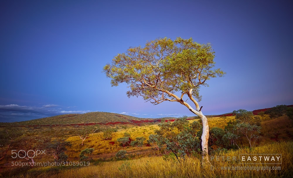 Photograph Karijini Tree 1 by Peter Eastway on 500px