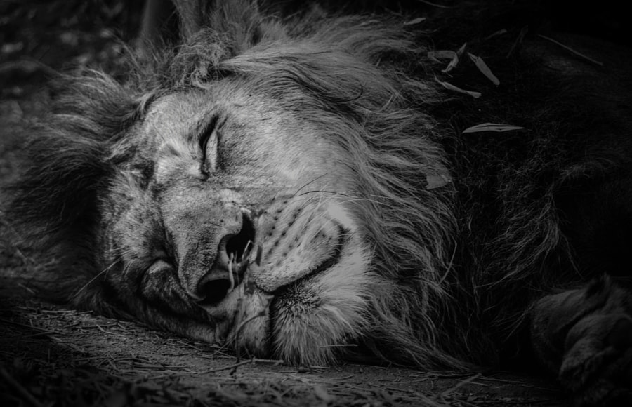Photograph Sweet dreams,Jungle King!! by Guru charan on 500px