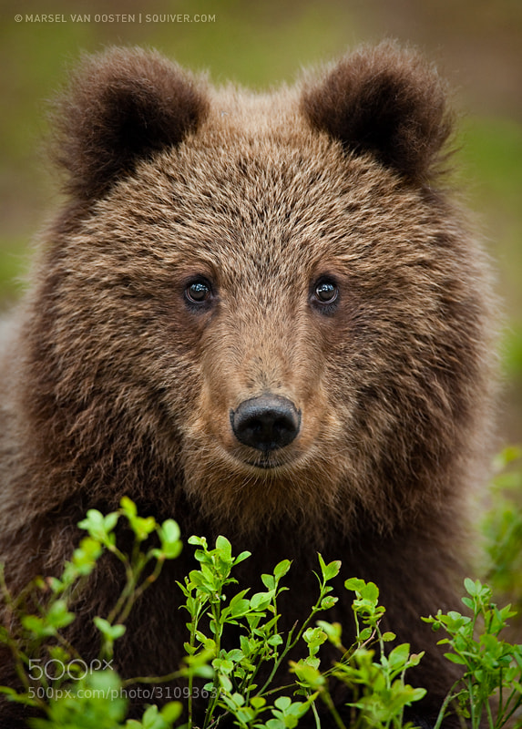 Photograph Young Bear by Marsel van Oosten on 500px