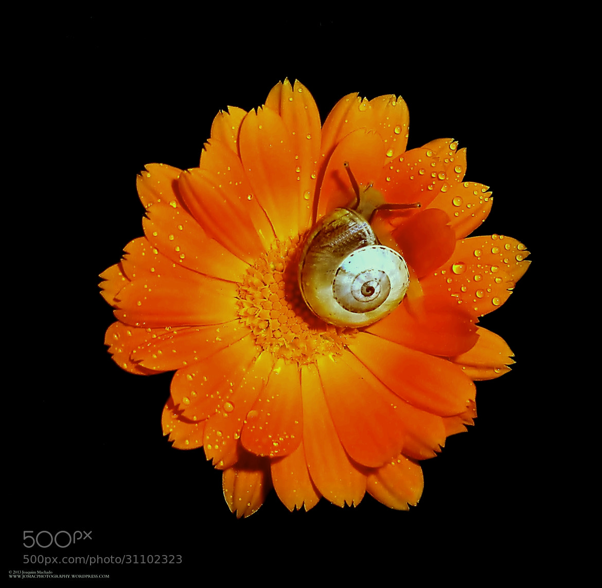 Photograph The snail in the garden by Joaquim Machado on 500px