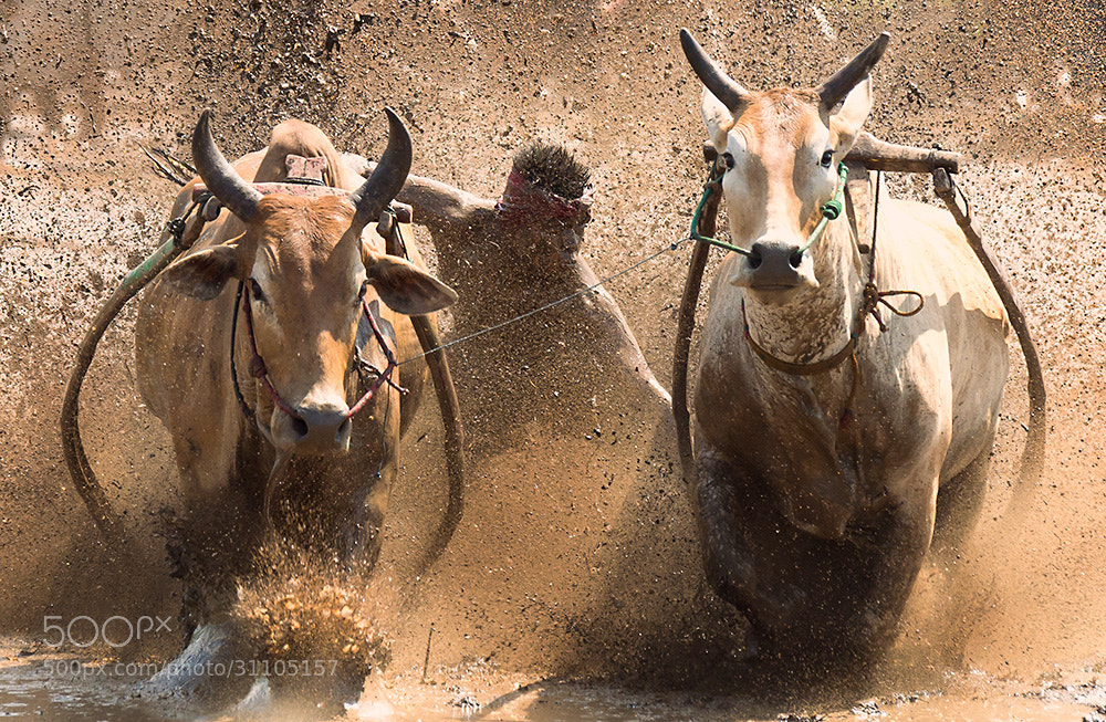 Photograph Pacu Jawi by Alex Hann on 500px