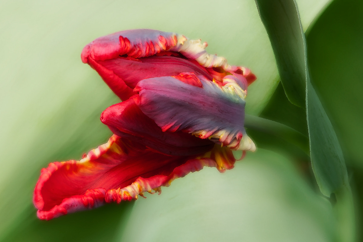 Photograph Awaken- tulip by JHRphotoART . on 500px