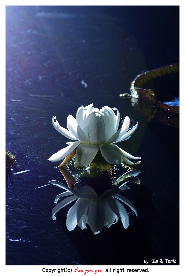 Photograph Victoria lotus by Jin-Gu Lee on 500px