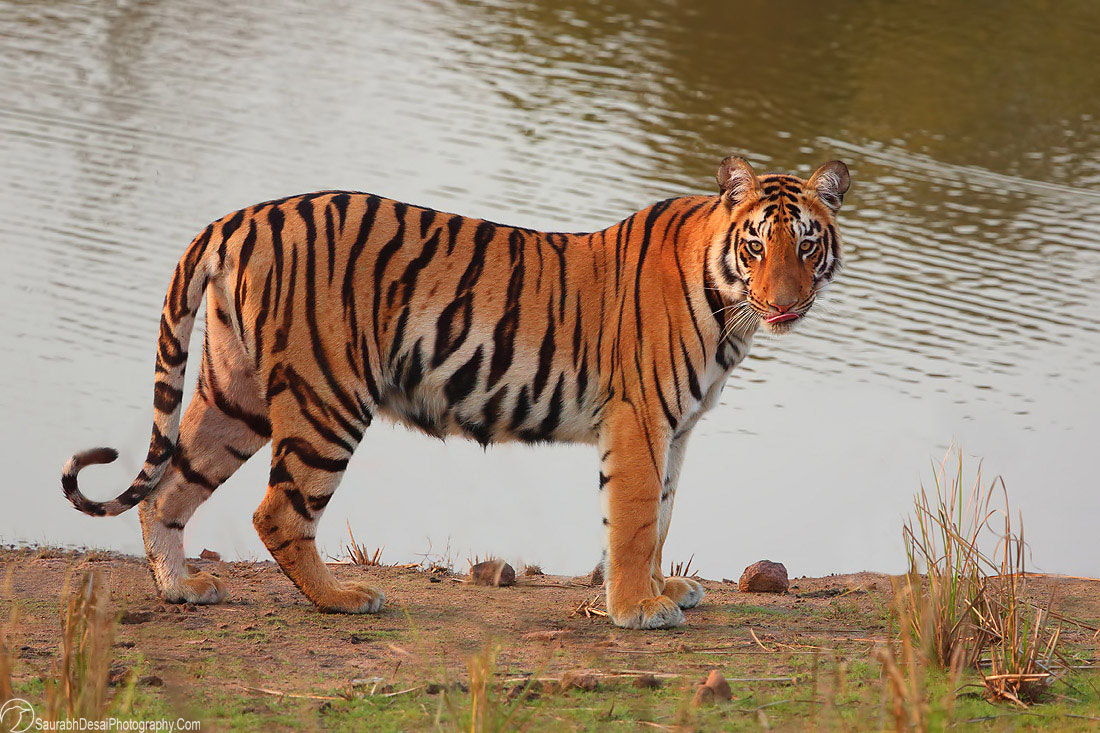 Photograph A Tigress from Tadoba by Saurabh Desai on 500px