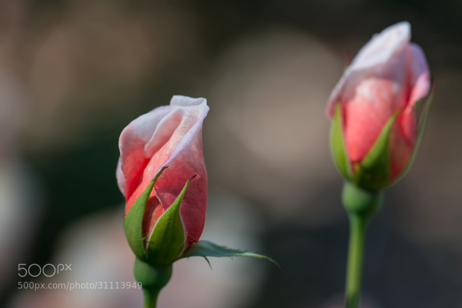 These two budding roses gave a good pose and had a natural selective coloring going to highlight them against the bokeh
