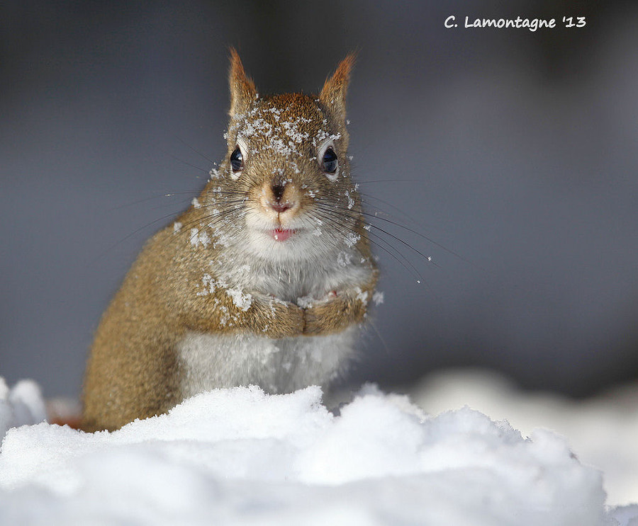 Red Squirrel looking for food in the snow.