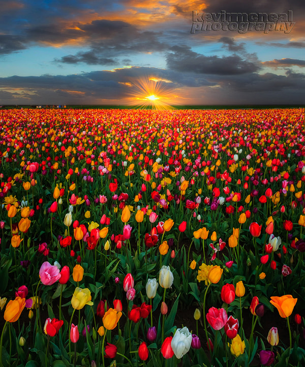 Photograph Spring At The Wooden Shoe Tulip Farm by Kevin McNeal on 500px