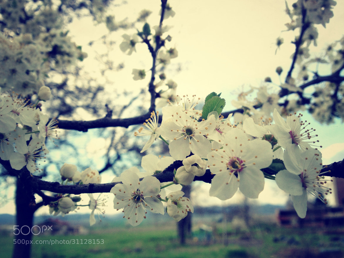Photograph Spring blossoms by Valio Yolovski on 500px