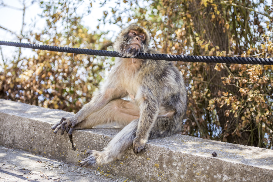 Macaque relaxing by Lucas Ahlgren on 500px.com