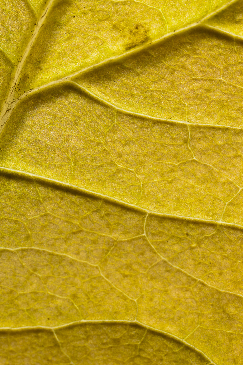 Photograph Leaflines by Joseph Calev on 500px