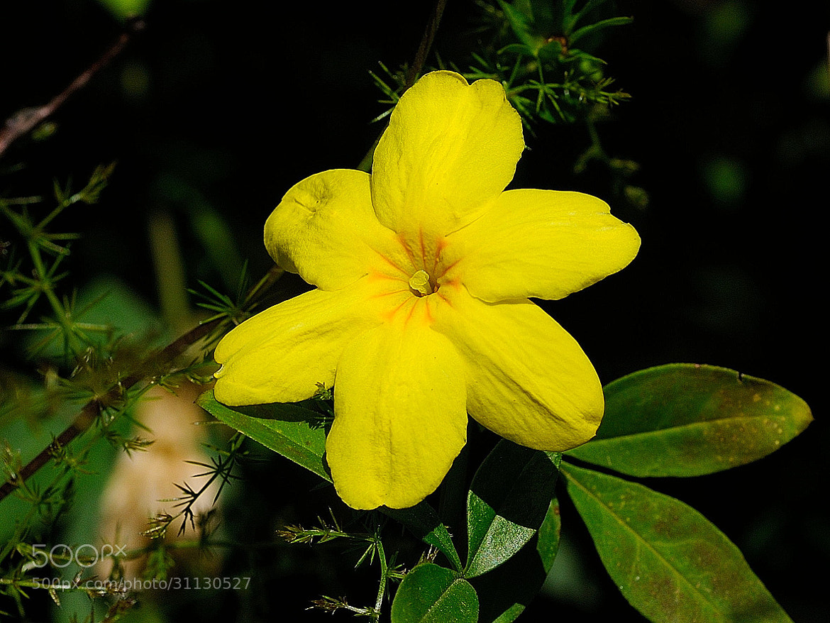 Photograph Yellow flower by Joan Oliveras on 500px