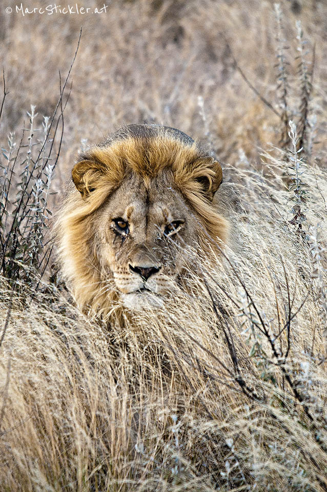 Photograph The Lion King by Marc Stickler on 500px