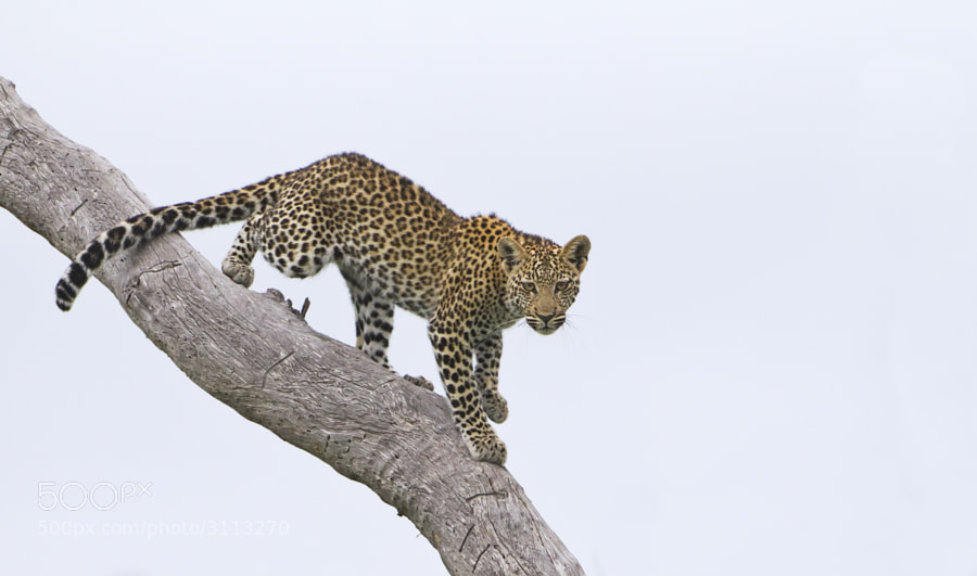 We shared a remarkable sighting with this young leopardess playing in a dead tree in Savute Marsh, Chobe Game Reserve, Botswana, some blue sky would have been nice, but nevermind.