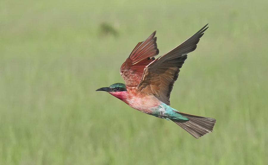 At certain times of the year in the Savute Marsh area of Chobe National Park, the Carmine Bee-eaters follow moving vehicles to pick up insects thrown up, when the vehicle stops so do the birds. This taken hand-held from a moving vehicle, a bit hit and miss, but sometimes you get one in frame?