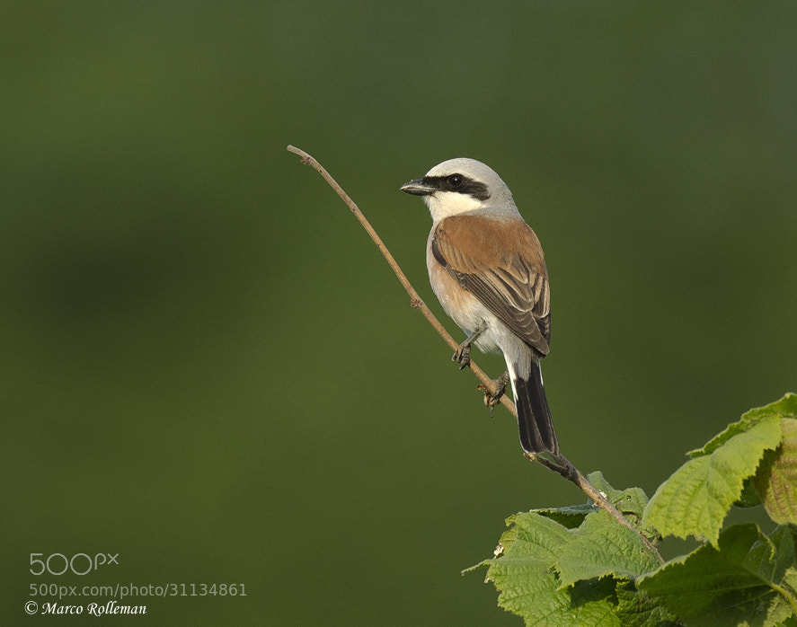 Photograph Red backed shrike  by Marco Rolleman on 500px