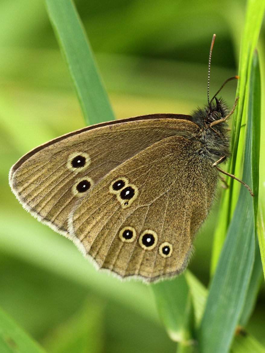 Photograph Ringlet by Simon Cameron on 500px