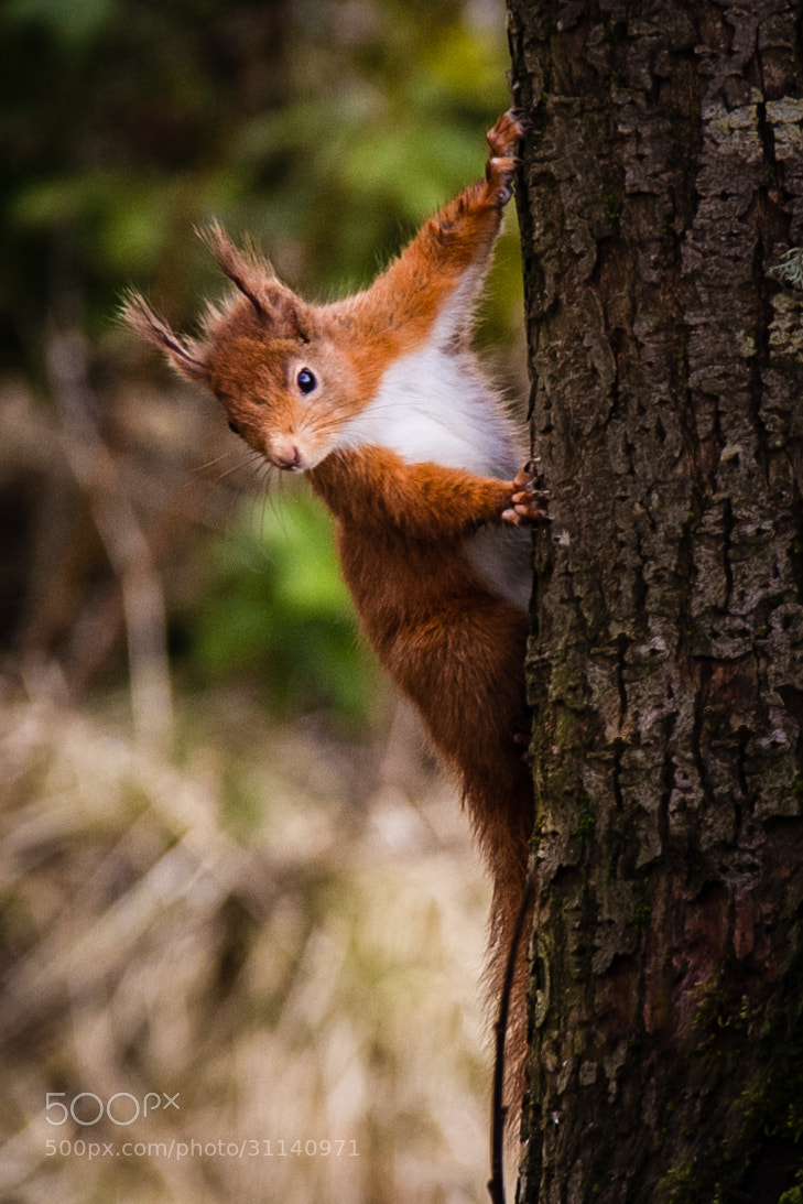 Photograph Red Squirrel Feeding by Adam Cochrane on 500px
