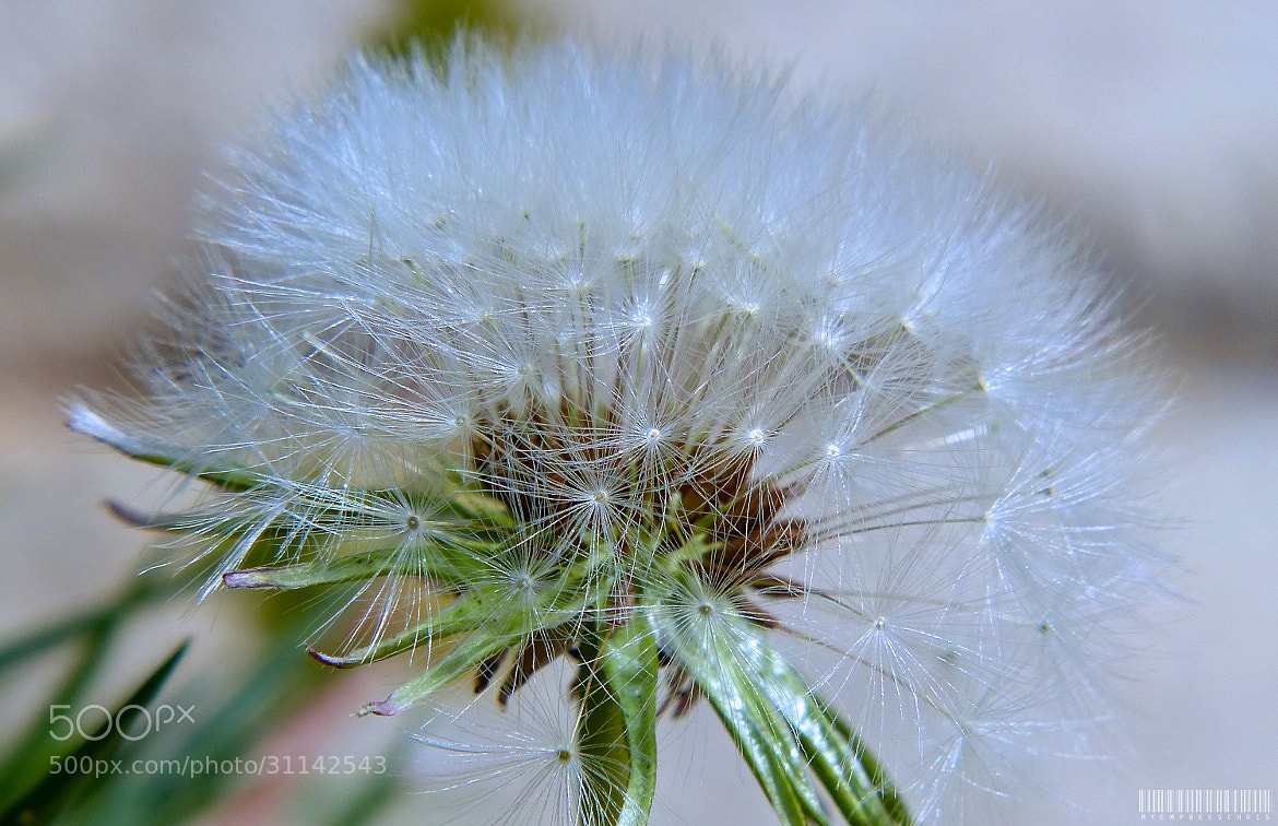 Photograph Oh My Dandelion by Christine Rica Bryant on 500px